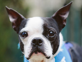 Bonnie the Boston