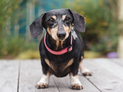 Ruby Doxie