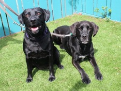 Jack and Lucy Black Labs