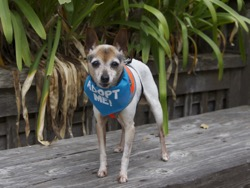 Lily Rat Terrier