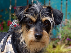 Lucy Wire Terrier